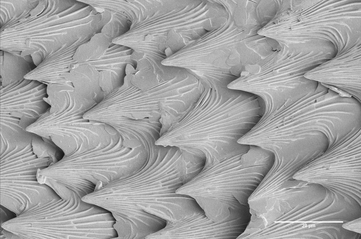 Pitcher plant, leaf surface with scales (Karin Müller, CAIC, Cambridge)