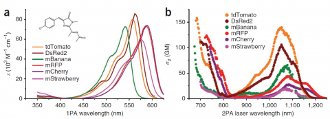 a) single photon excitation spectra for various red fluorescent protiens b) 2-photon cross-section for same red fluorescent proteins as shown in (a)