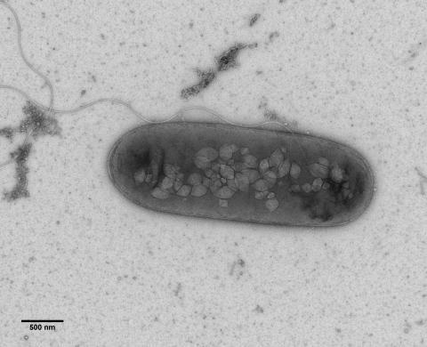 Bacterium with flagellum and gas vesicles (Rita Monson, Prof. George PC Salmond group, Biochemistry, Cambridge)