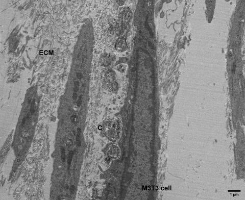 Culture of M3T3 cells induced in-vitro to produce extracellular matrix (ECM) and matrix calcifications (C). Low-magnification overview image; the knife mark striations are caused by the inherent calcium phosphate crystals (doi.org/10.1016/j.celrep.2019.05