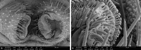Caterpillar Bicyclus anynana, SEM of attachment structures (Simon Chen, Prof. Walter Federle Group, Dept. of Zoology, Cambridge)