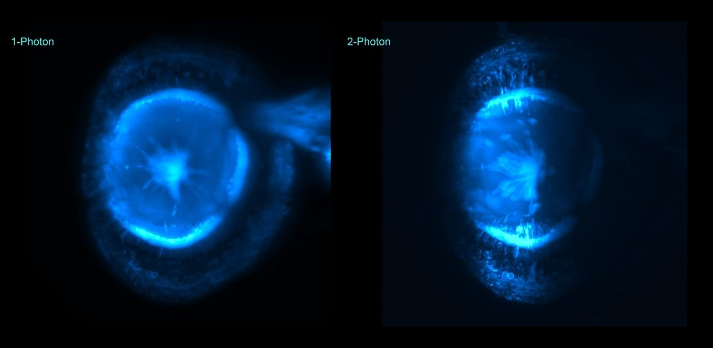 Zebrafish eye imaged with CAIC's light sheet microscope, comparison between 1p and 2p excitation